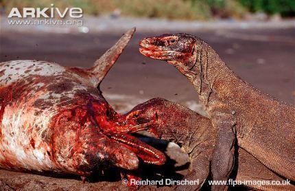 Dragões de Komodo se alimentando da carcaça de um golfinho. Créditos: © Reinhard Dirscherl / www.flpa-images.co.uk