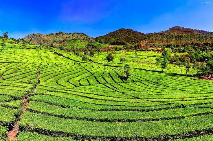 Kebun Teh Sukawana Lembang