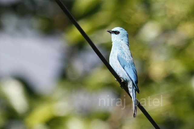 Nirajphotographer: Flycatcher series : Verditer Flycatcher