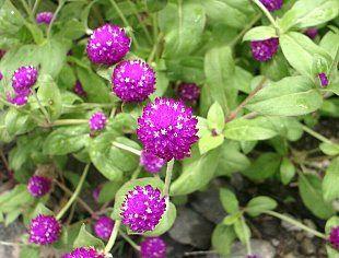 Bunga Kenop (Gomphrena globosa L)