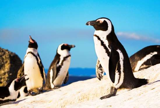 African penguin colony at Boulders Beach - Don Bayley/Getty Images