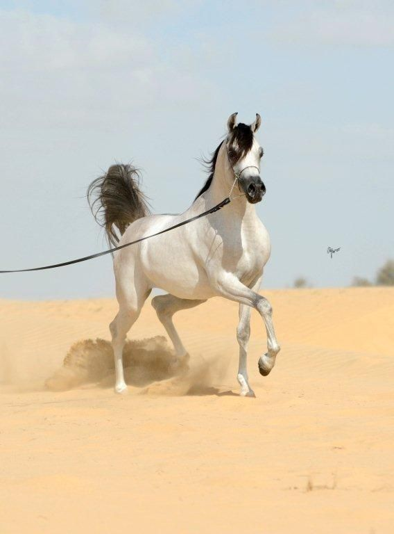 D Myas :: Dubai Arabian Horse Stud