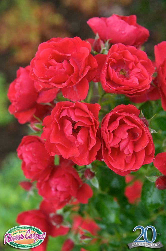 Flower Carpet Scarlet roses.