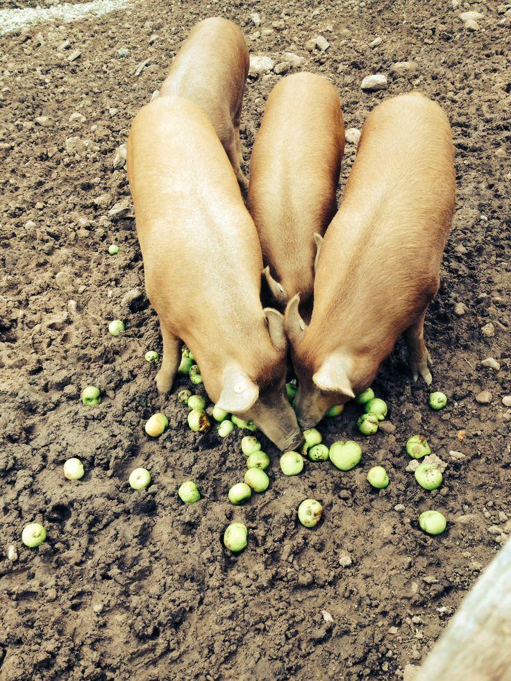Our Tamworths enjoying some apples