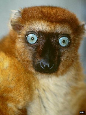 A new assessment of Madagascar's lemurs shows they are far more threatened than previously thought.  The blue-eyed black lemur is thought to be the only primate with blue eyes - except humans