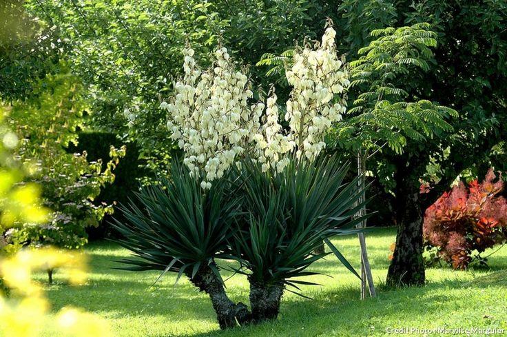 Yucca gloriosa. Sa floraison extraordinaire se renouvelle chaque année. La haute tige florale est formée d'une panicule de grandes fleurs de couleur crème.