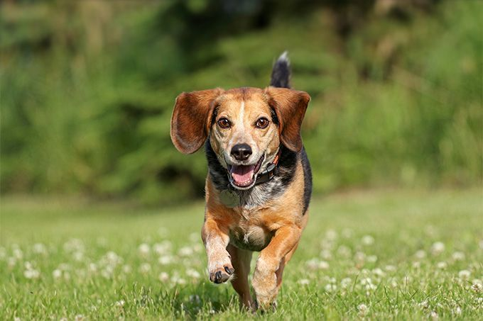 Beagle Information Including Pictures Training Behavior And