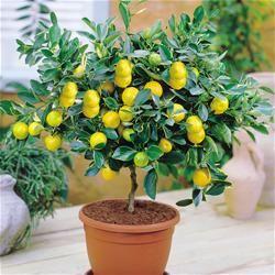 Indoor Trees - Lemons, limes, oranges, kumquat, clementine, strawberry, blueberry, grapefruit, banana, pineapple, papaya, nectarine, kiwi, apple, avocado, tomato, and figs