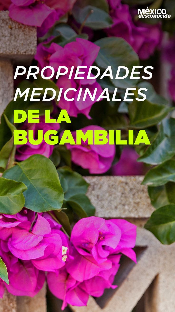 Propiedades medicinales de la bugambilia Straight Hairstyles, Braided Hairstyles, Herb Seeds, Super Natural, Hair Goals, How To Stay Healthy, Natural Remedies, Health Tips, Curly Hair Styles