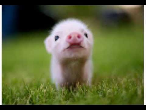 Mini Pigs - Geburtstag (Sahne-Mix)