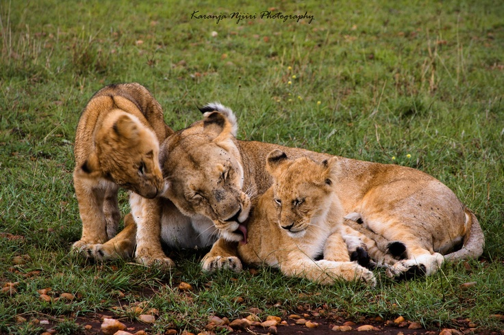 Lion family grooming at Masai Mara National Reserve, Kenya.