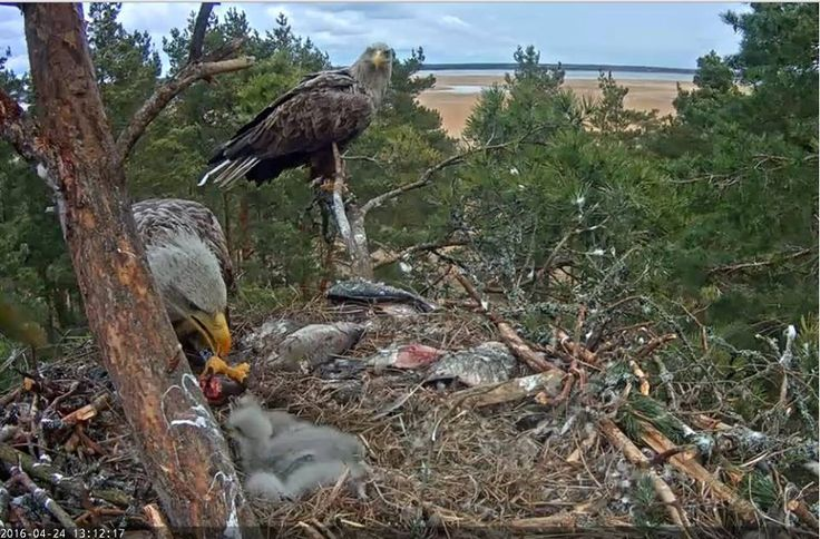 Orel mořský krmení Orla. Sea Eagle feed its youngs