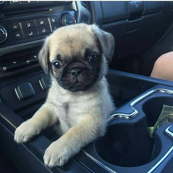 The Top 10 Best Pug Dog Names. Click to see more ideas. #pug #names