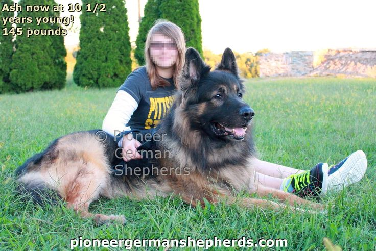 Giant German Shepherd Ash at 10 1/2 years old and 145 pounds.