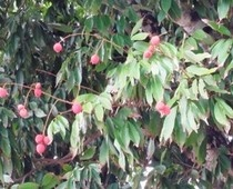 Lychee Nut Trees are popular in South Florida