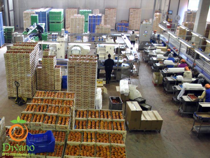 Lo stabilimento per la lavorazione kaki Divano in piena attività. www.divanosrl.it