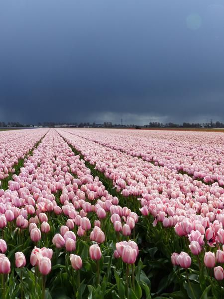 Tulip Salmon Impression, Make a big impression this spring with the soft salmon pink blooms of this delightful giant tulip. Buy bulk tulip flower bulbs at wholesale pricing with DutchGrown. Darwin Hybrid Tulips Salmon Impression for sale from Holland.