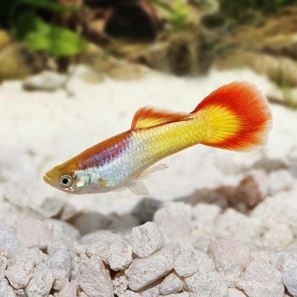 Male Flametail Guppy In 2020 With Images Guppy Fish Tank Design Fish Pet