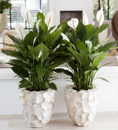 Spatiphyllum in chique pot