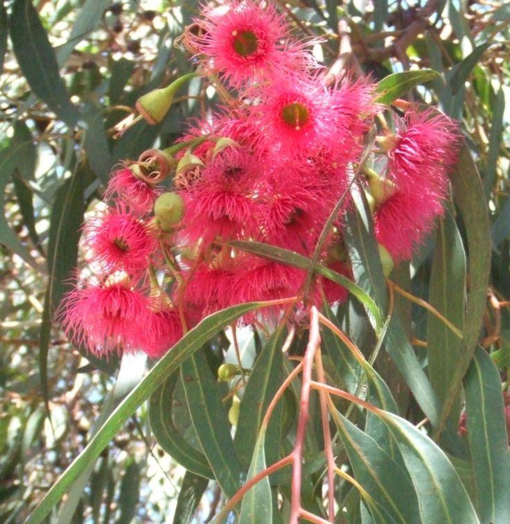Eucalyptus leucoxylon 'Rosea' flower