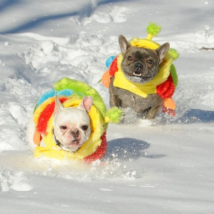 French Bulldog Caterpillars in the Snow, by threelittlefrenchies