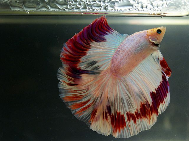 Betta fish have an organ known as the labyrinth organ for Betta fish water