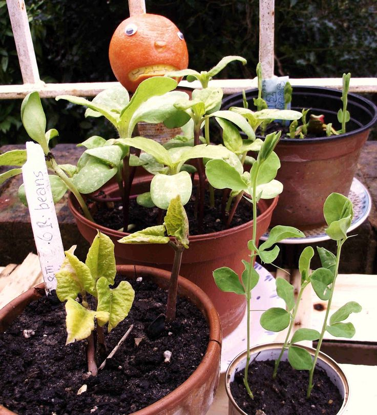 "March 28th and Mr Angry Orange's sunflower, sweet pea, runner bean and pea seedlings need pricking out. Has the horticultural genius been a bit early? ""Bah!"" he  said. If only the weather was as wise as Mr Angry Orange."