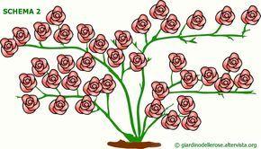 Indicazioni e suggerimenti per la coltivazione delle rose rampicanti: come farla fiorire abbondantemente piegando i rami, come potare, come ringiovanirla.