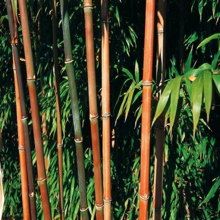 les 18 meilleures images du tableau les plus beaux bambous. Black Bedroom Furniture Sets. Home Design Ideas