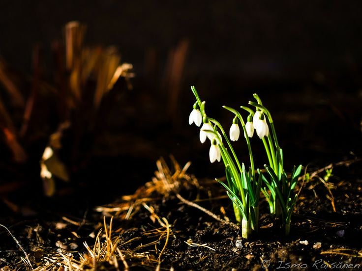 In the Garden - Snowdrop by Ismo Räisänen on 500px. http://ismo-raisanen.artistwebsites.com/