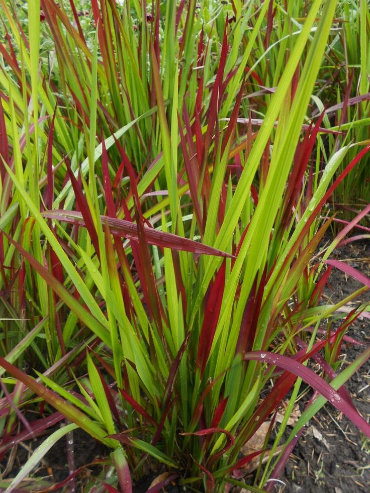 Imperata cylindrica 'Rubra'. Photo by Tony Garn