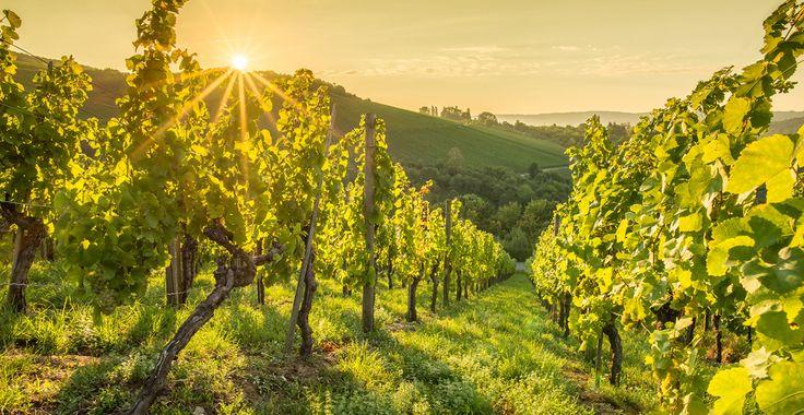 Saiba tudo sobre o Lambrusco | Winepedia