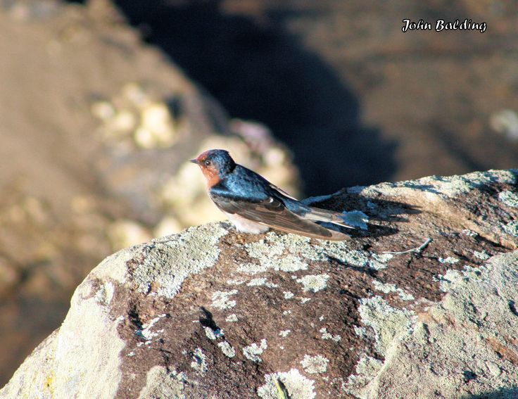 Welcome Swallow - Northern Rivers of NSW