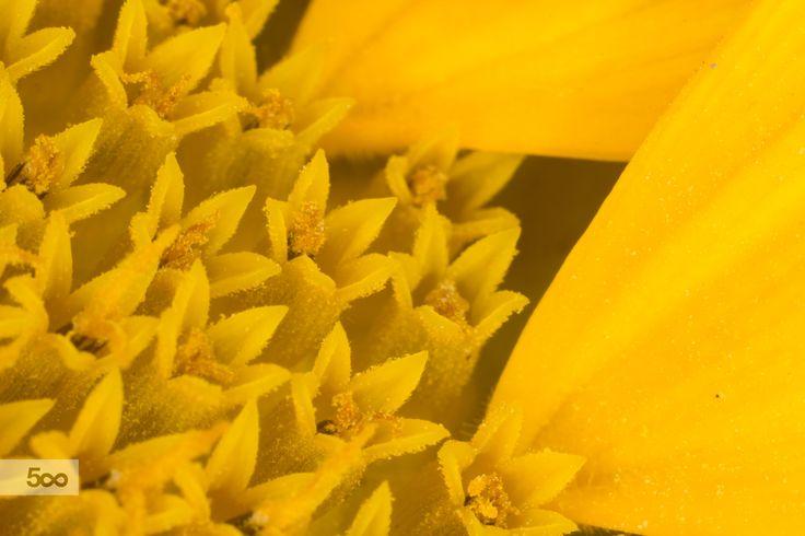 Inside sunflower by Elisabetta Trebeschi on 500px