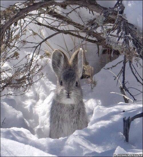 Another adorable Wild Rabbit in the deep Snow