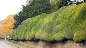 A cloud pruned, curved Yew Hedge