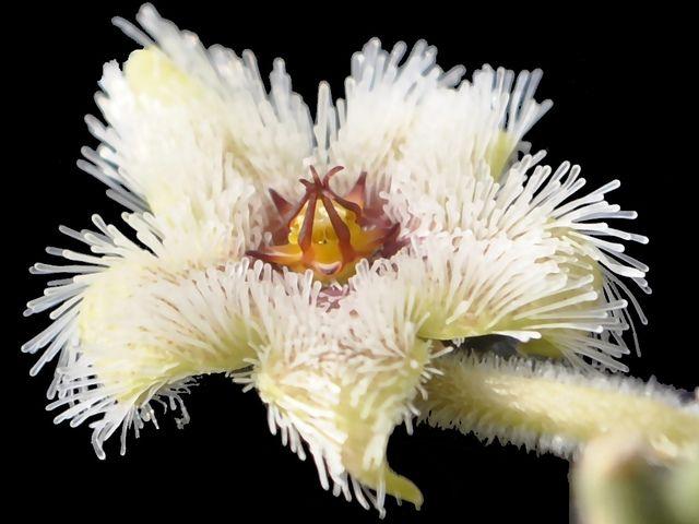 Stapelia glanduliflora
