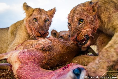 """Remote Control """"BeetleCam"""" Catches Incredible Up-Close Lion Photos Feasting on a Kill"""
