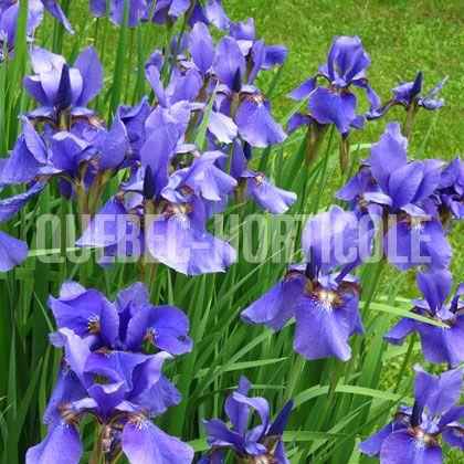 image de Iris sibirica