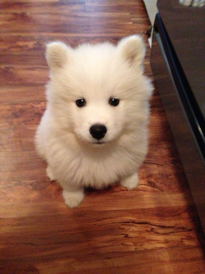 Samoyed puppy @Shannon Bellanca Bellanca Bellanca Bellanca Grubbs it's Luna!!!