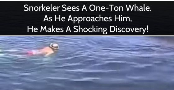 A Snorkeler sees one-ton whale. As he approaches him, he makes a shocking discovery!