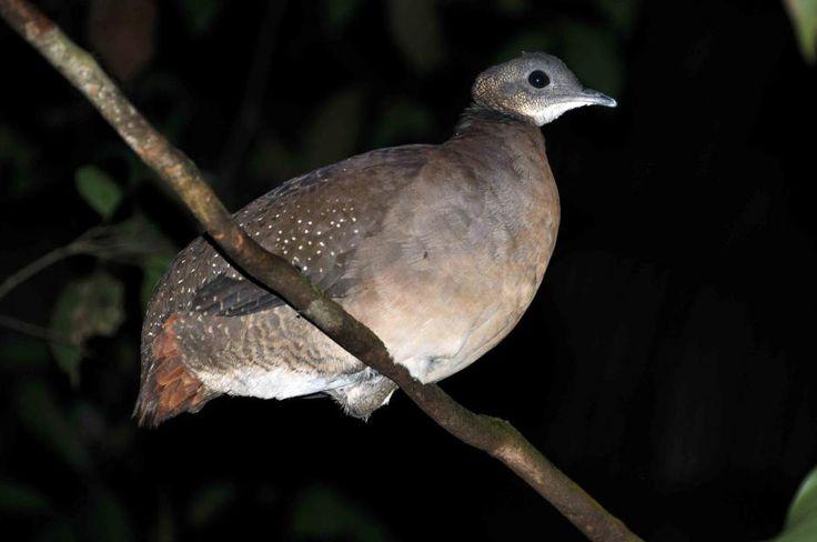 Tinamus guttatus / white-throated tinamou / ノドジロシギダチョウ