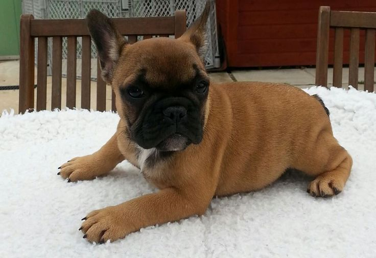 17 best ideas about fawn french bulldog on pinterest. Black Bedroom Furniture Sets. Home Design Ideas