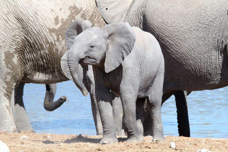 Baby Elephant - Etosha - Namibia