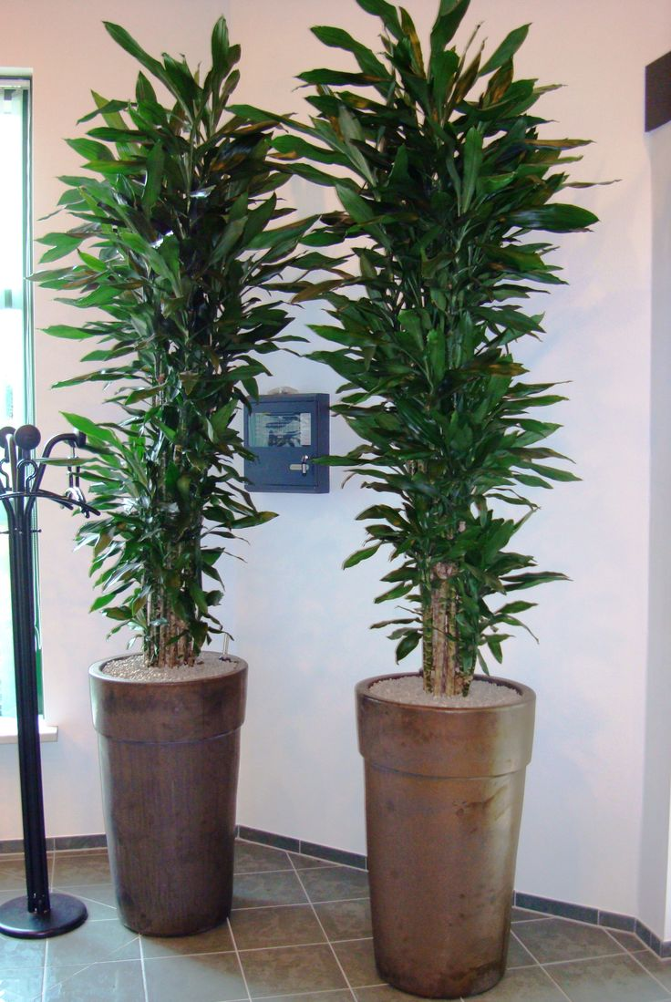 26 best images about dracaenas on pinterest songs office plants and planters - Tall office plants ...