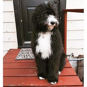 51 Best Images About Sheepadoodle Cuteness On Pinterest