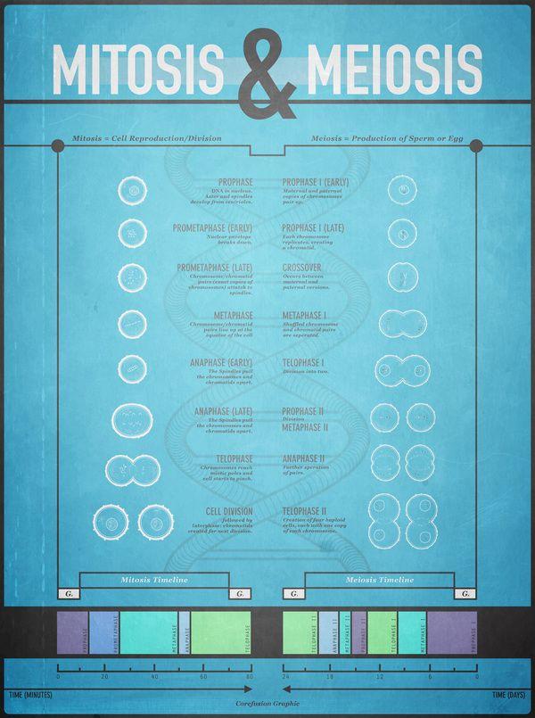 Meiosis and Mitosis Infographic @Alejandra Rial Jaso Isaza Tooj Tsab Xyooj Bazzi