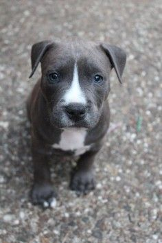 Blue Nose Pitbull Puppy. I can handle 3 dogs, right...?