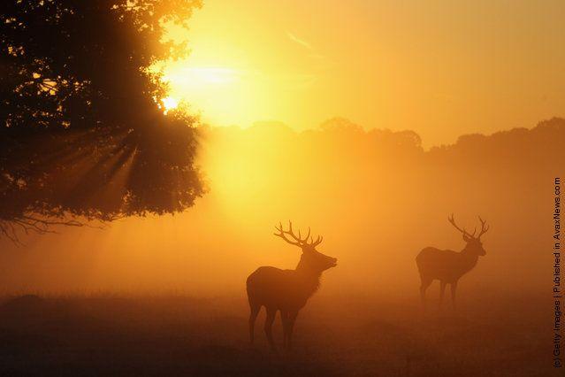 Autumn Deer Rut In London's Richmond Park