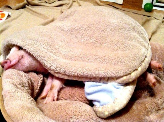 """""""Yep, just a lil' pig in a blanket over here!"""" 